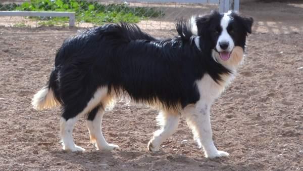 ¿Cuáles son las razas de perros más inteligentes y menos inteligentes?