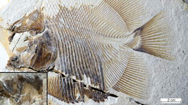 El primer pez carnívoro es un antepasado de la piraña hace 150 millones de años